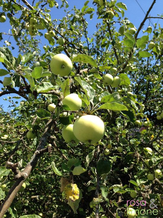 Äpfel-am-Baum-rosa&limone