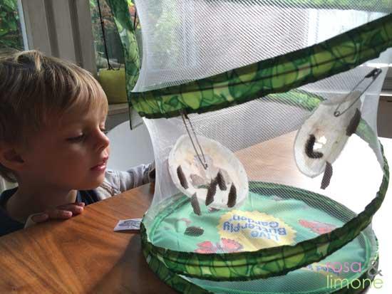 Schmetterlingsgarten-Beobachtung-Puppen-rosaundlimone