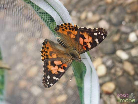 Schmetterlingsgarten-Schmetterling-nah-rosaundlimone