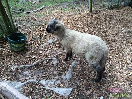 EinsundAlles-Schaf-rosaundlimone