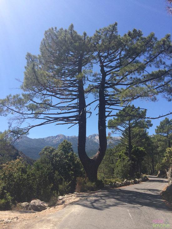 Y-Baum-Korsika