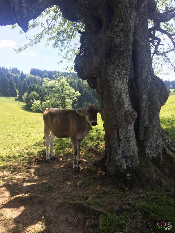 Kuh-auf-der-Alb
